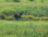 Bull Moose (Bullwinkle ?)