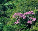 Blooming Tajibo