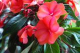 Berry Bush in Bloom