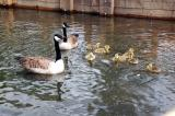 Malard with babys in water