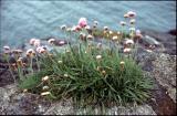 Wild Flowers of Ireland