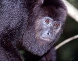 howler monkey up close