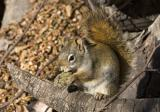 Squirrel-pine cone.jpg