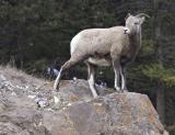 Female Rocky Mountain sheep