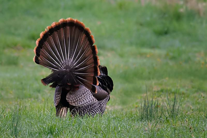 Wild Turkey Fan