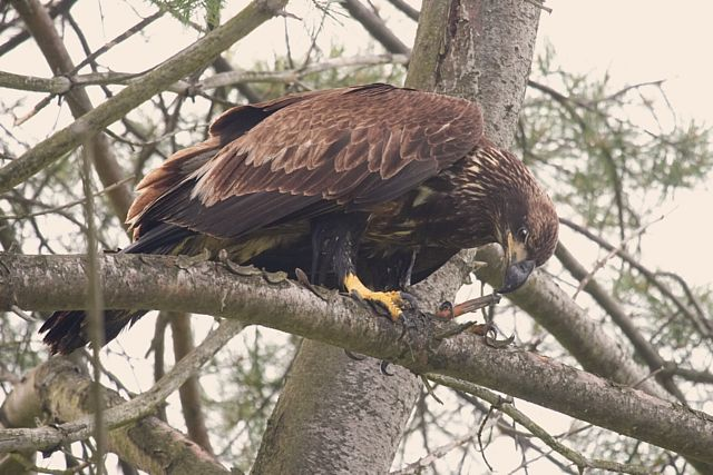 Bald Eagle Immature
