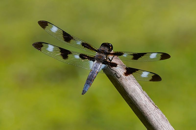 Dragonfly (12-Spotted Skimmer)