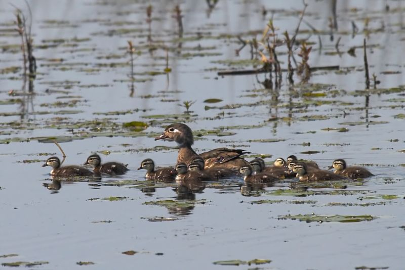 Wood Duck Female and Young
