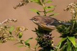 Yellow-rumped Warbler Juvenile
