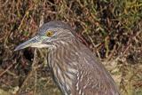 Black-Crowned Night Heron, immature