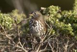 Fox sparrow (sooty subspecies)