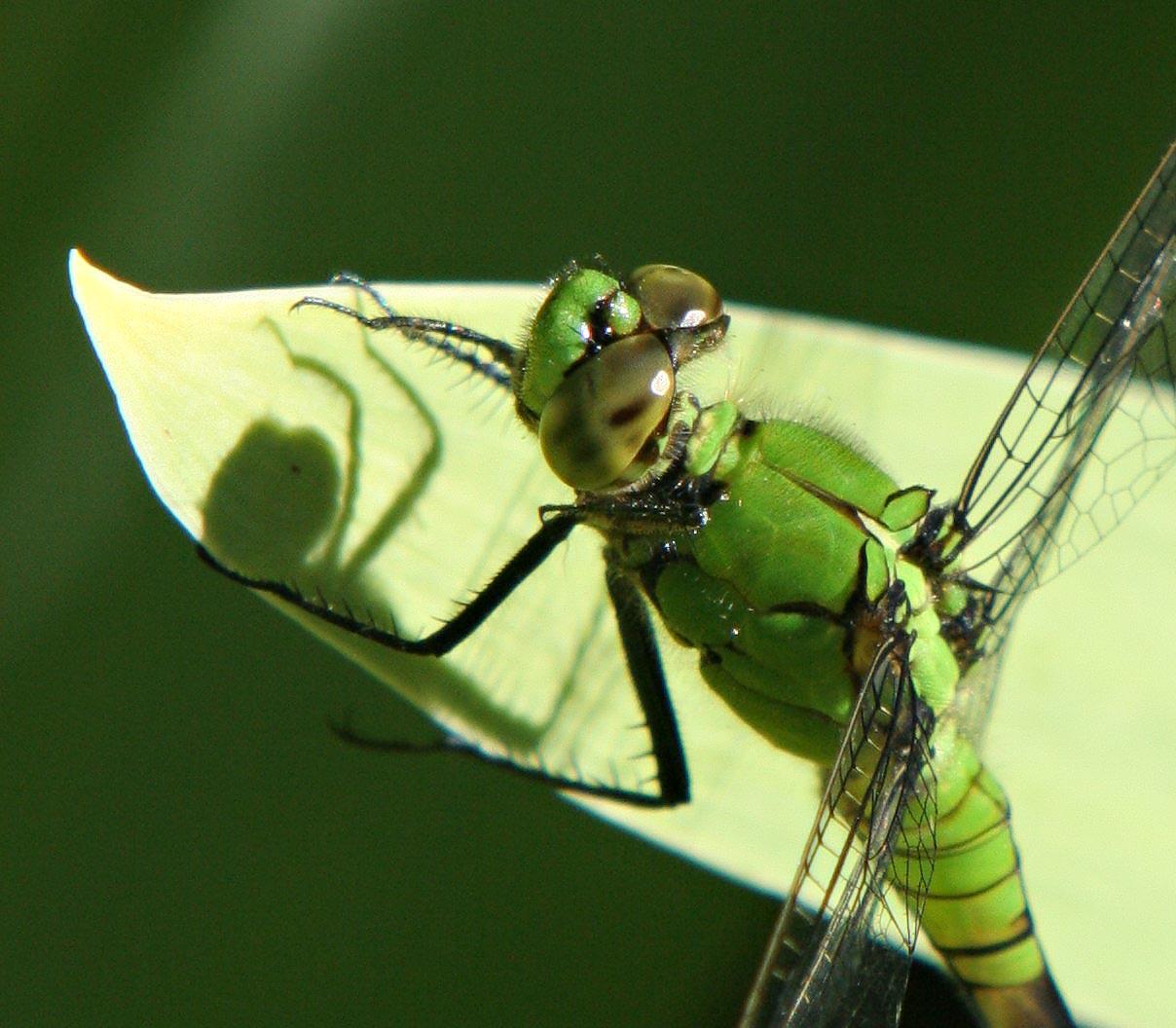 100% Green Dragonfly crop