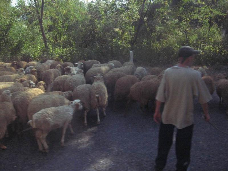 The bus pushed through this huge flock of sheep.