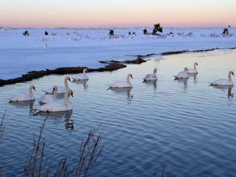 Ten Swans a swimming.JPG