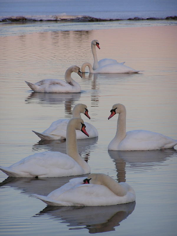 Seven swans a swimming.jpg