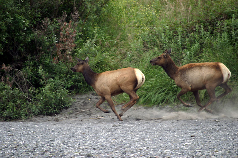 Two Elk Cows.jpg