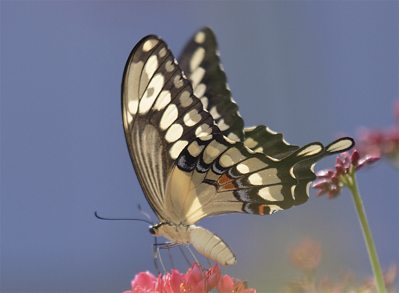 Butterfly at St Paul Close up.jpg