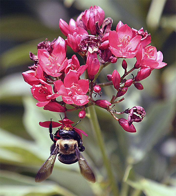 Bee Upside Down on Flowerjpg