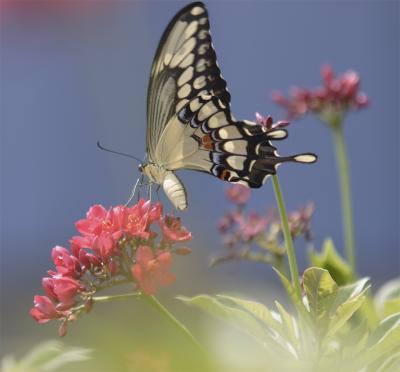 Butterfly at St Paul crop.jpg