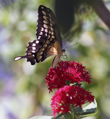 Black Butterfly on flower.jpg