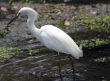 Egret with minnow.jpg
