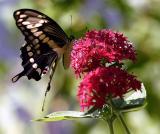 Butterfly on flower.jpg