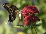 Butterfly closeup.jpg