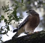 Hawk on tree branch.jpg