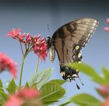 Black Butterfly 3.jpg