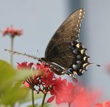 Black Butterfly Wing.jpg