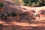 Deer at Water Hole on Devils Garden Trail
