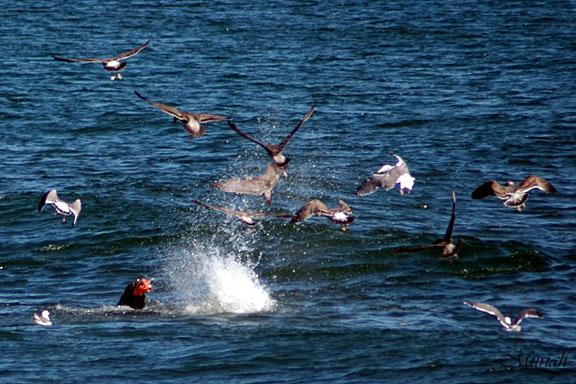 Sea Lion Salmon Frenzy
