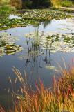 watergrasses