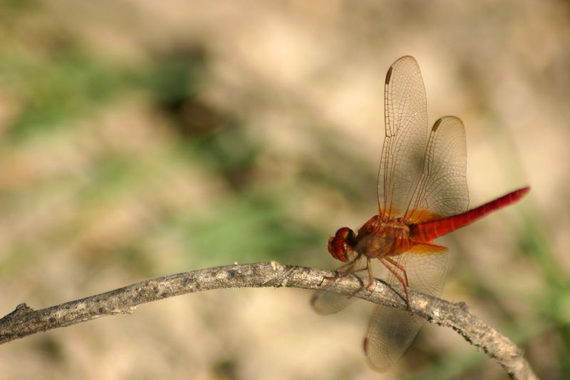I is for Insect, Dragonfly, Sultanpur National Park