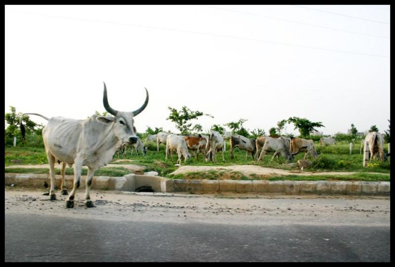 Cow on the road. Watch out!, Gurgaon