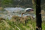 A thirsty Painted Stork , Sultanpur National Park