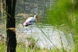 Stork in knee deep water, Sultanpur National Park