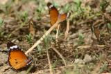 Common Tiger Butterfly, Sultanpur National Park