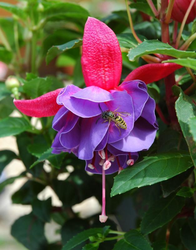 wasp-on-fuchsia.jpg
