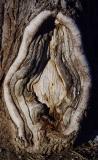 Tree Vulva