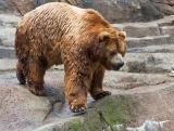 Kodiac Bear