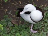 Oriental Duck