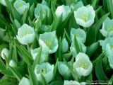 Tulips, Maxwell Hill, Perak - Malaysia