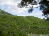 Sungai Palas BOH Tea Estate, Cameron Higlands, Pahang - Malaysia
