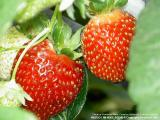 Tringkap Strawberry Farm, Cameron Higlands, Pahang - Malaysia
