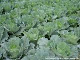 Habu Vegetables Farm, Cameron Higlands, Pahang - Malaysia