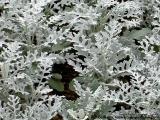 Ferns of Doi Tung, Chiangrai - Thailand