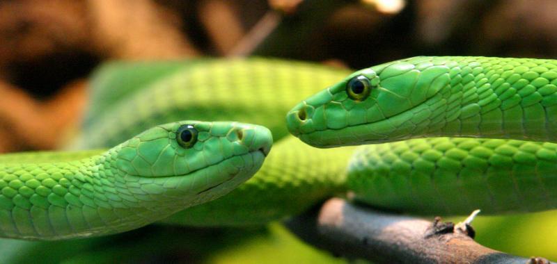 Kissing Snakes