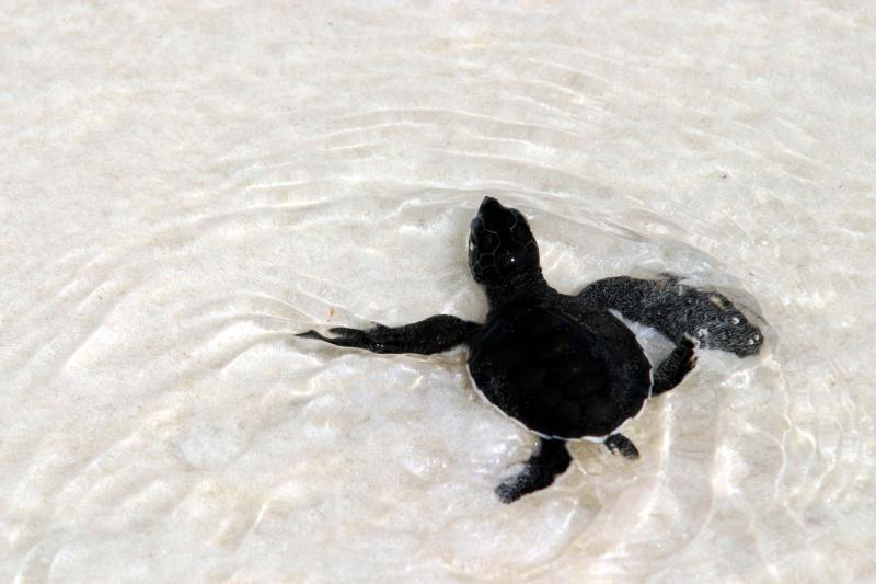Baby Turtle.. Only the challenges of the sea left