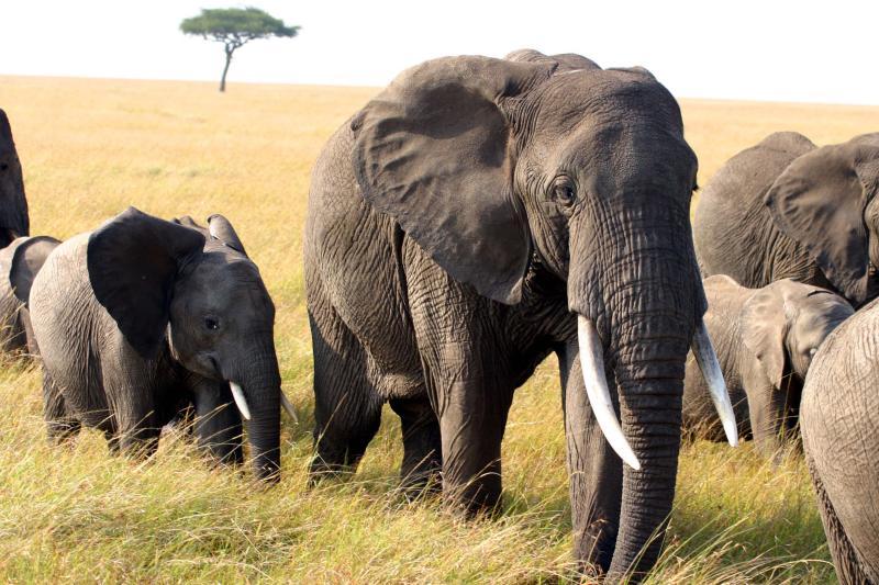 Masai Mara - Elephant family in natural surroundings